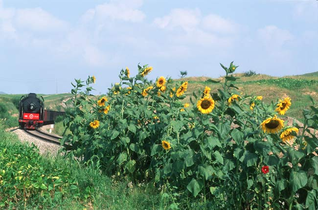 Sunflowers in August 2005 near Chabuga