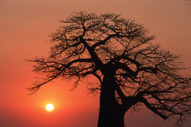 an impressive Baobab at sunrise